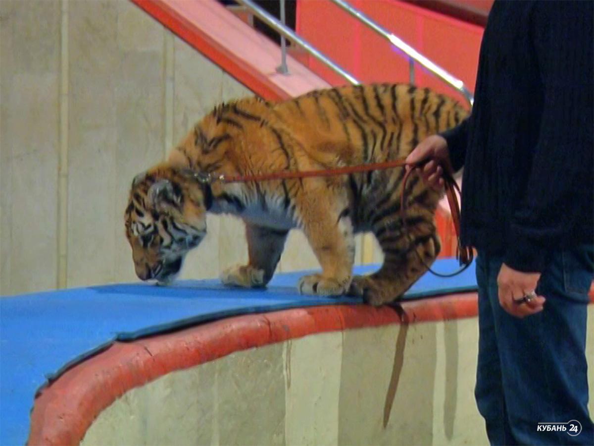 «Факты 24»: дрессировщик Багдасаров рассказал о состоянии тигренка Шивы, на Кубани в выходные синоптики спрогнозировали ухудшение погоды