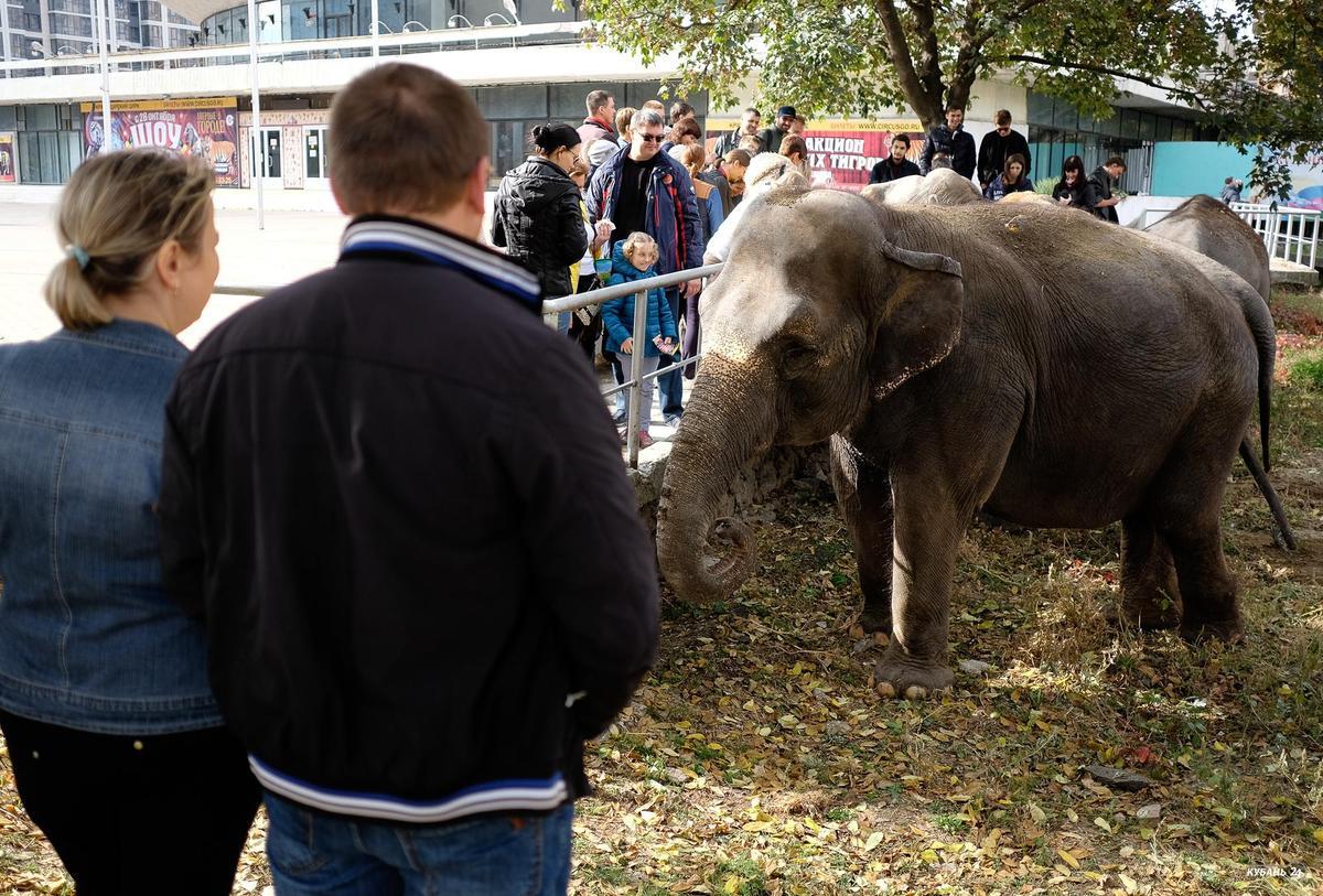 Выгул слонов в центре Краснодара