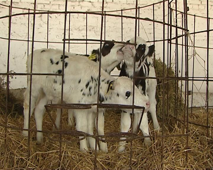 В Красноармейском районе корова родила тройню