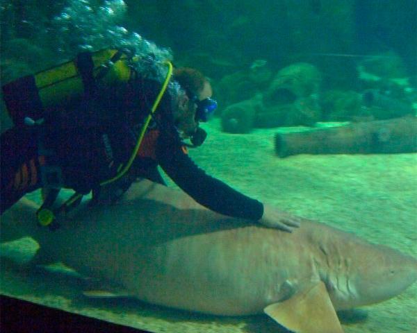 В Сочи 20 человек ежедневно ныряют в аквариум с акулами