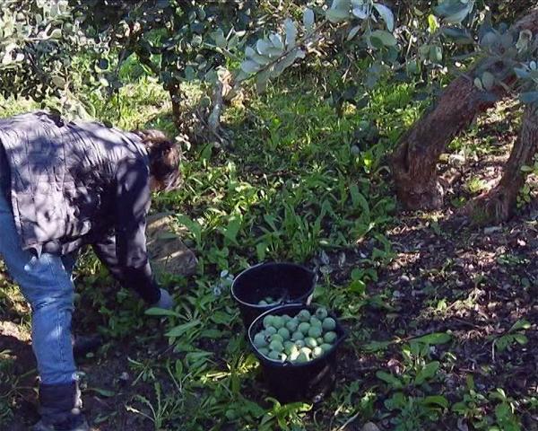 Сочинские агрономы начали собирать урожай фейхоа