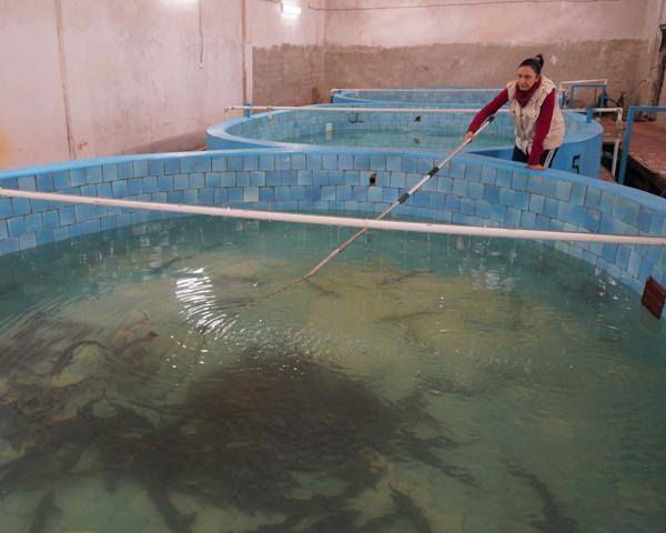 На Краснодарском водохранилище спустя восемь лет возобновил работу осетровый завод