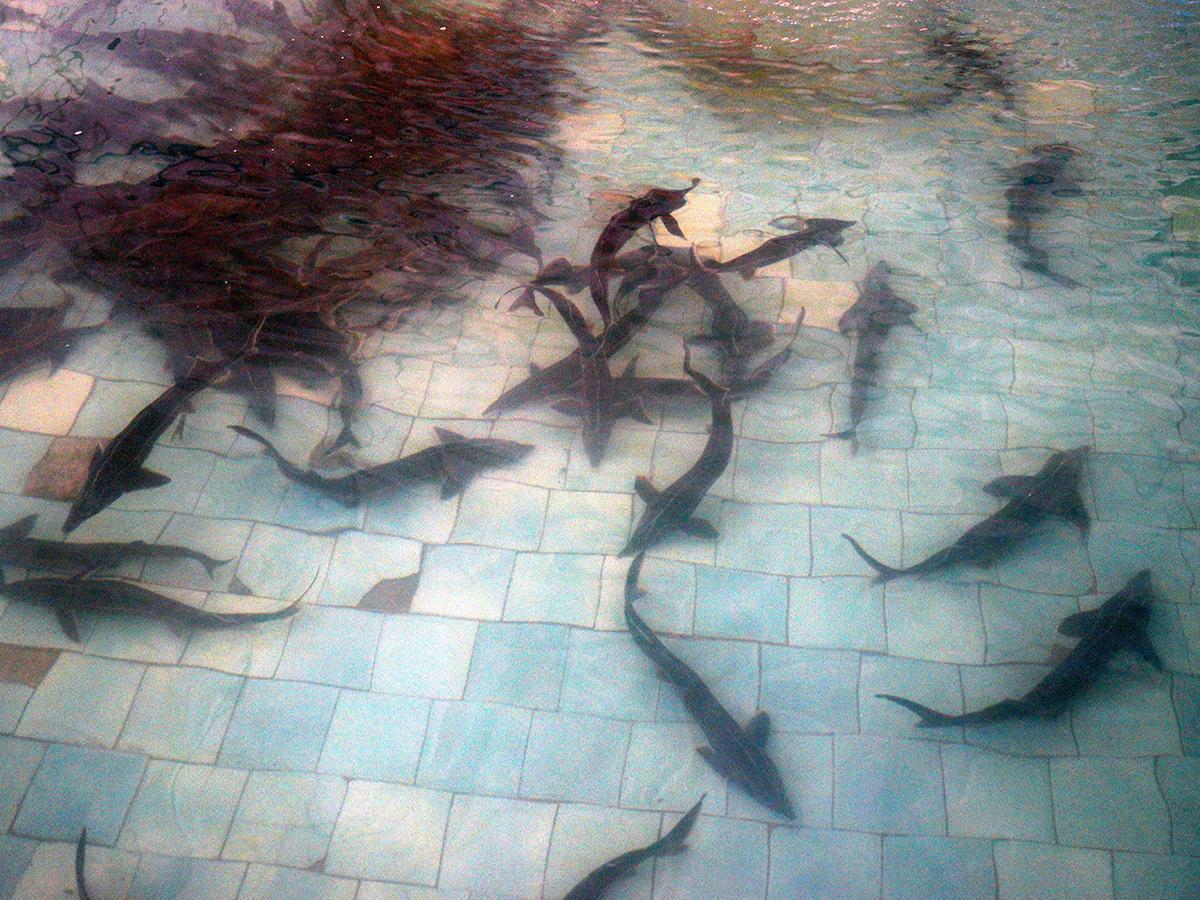 Ученые заявили об угрозе исчезновения осетровых на Кубани