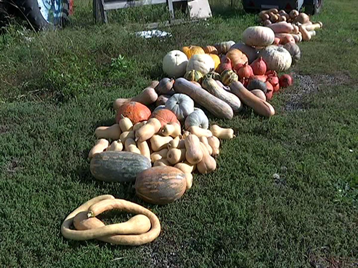 У аграриев Кубани начался сезон сбора тыквы