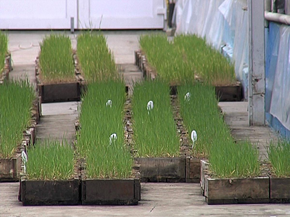 Ученые Кубани получат 156 млн рублей на развитие семеноводства