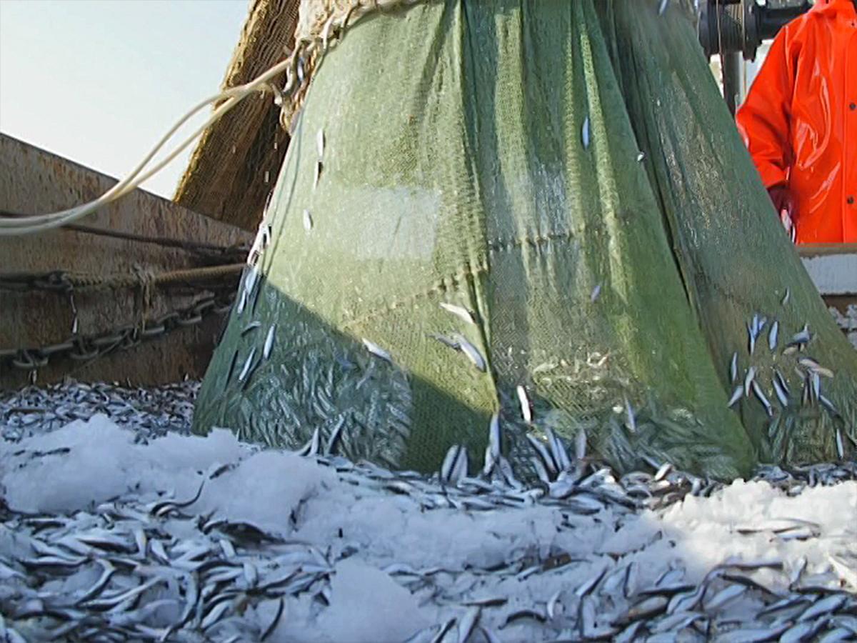В Черном море разрешили лов кильки