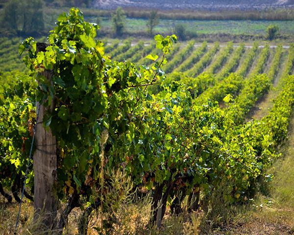 «Факты. Детали»: виноделие на Кубани