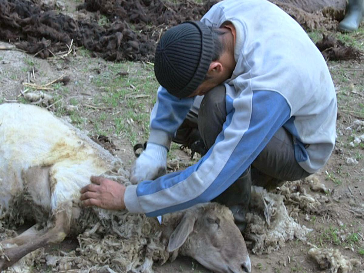 Фермер из Крымского района рассказал о стрижке овец