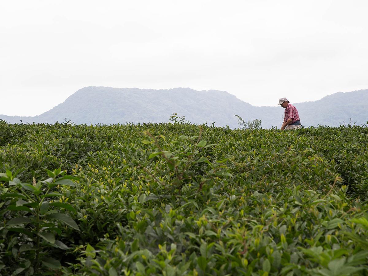 В Сочи начался сбор самого северного в мире чая