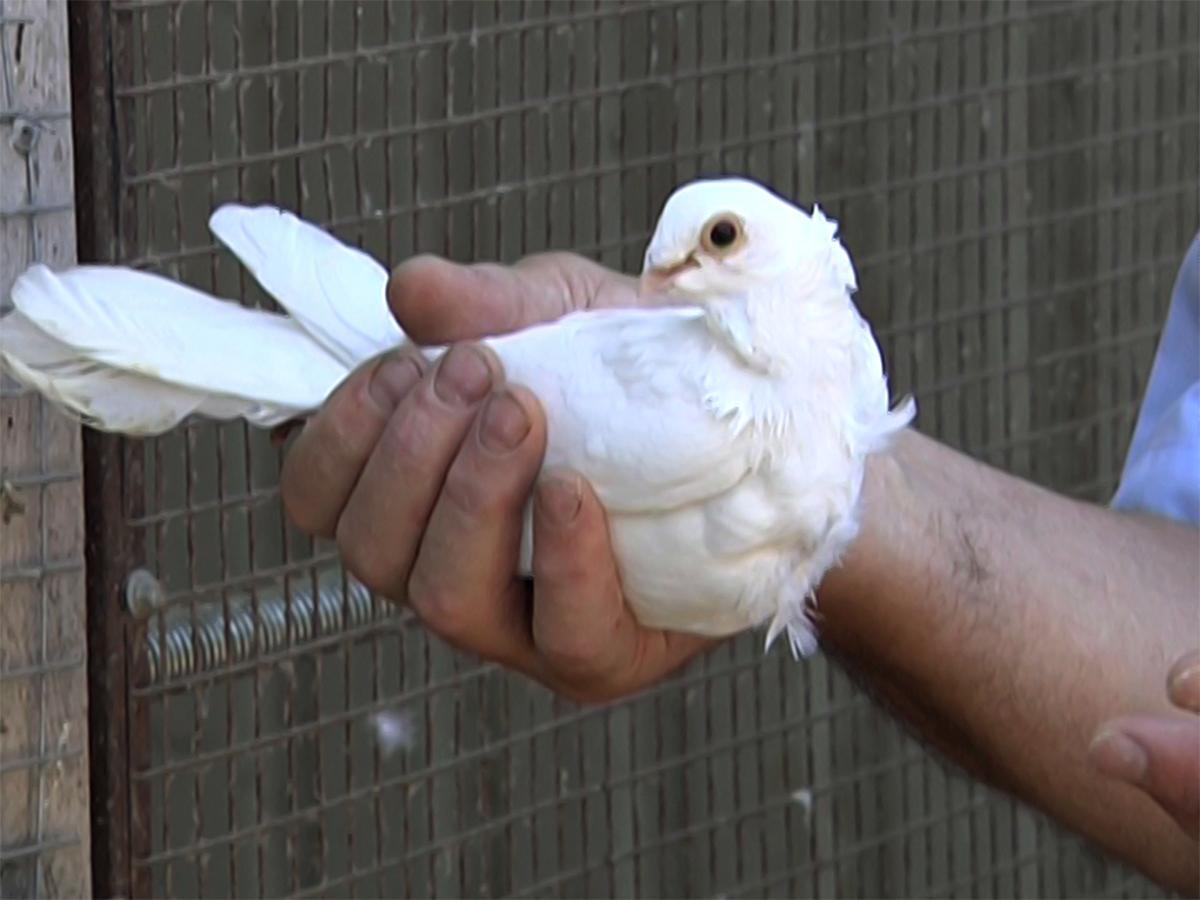 Житель Калининского района около 50 лет разводит голубей