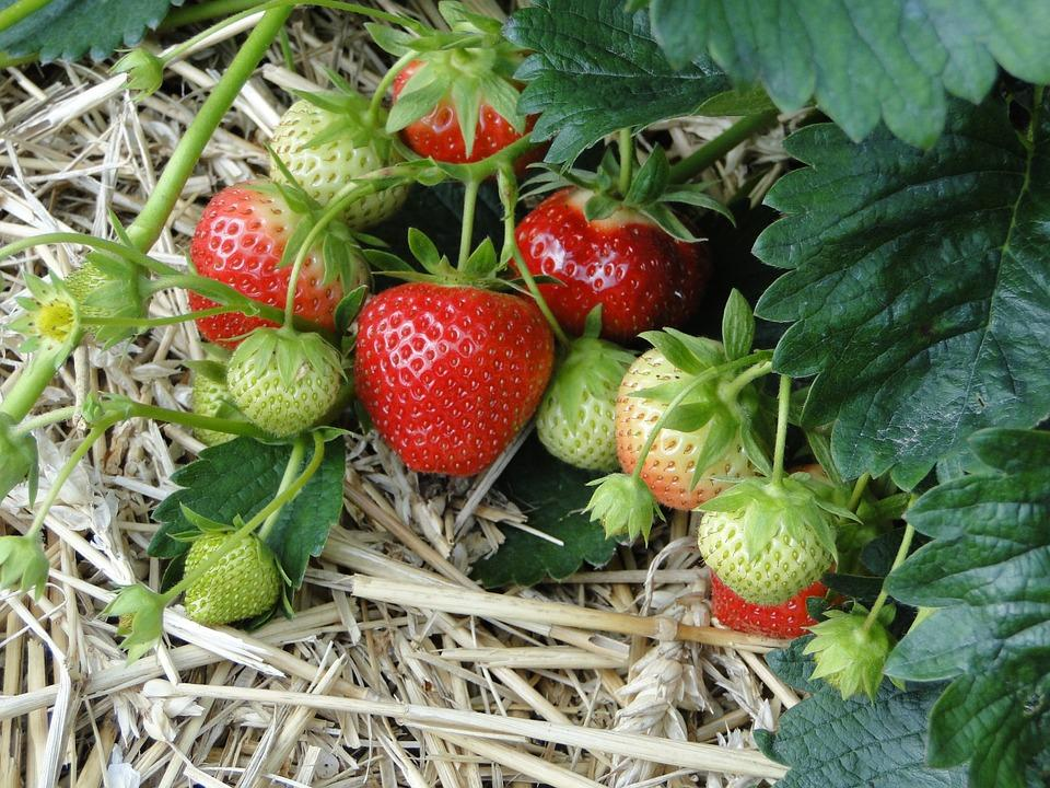 На Кубани за пять лет производство плодов и ягод увеличилосьна 50%