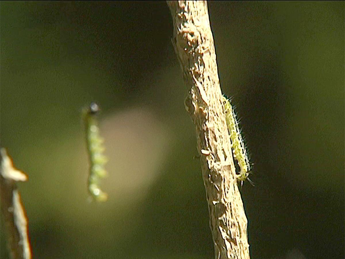 В Апшеронском районе гусеницы огневки захватили самшитовые леса
