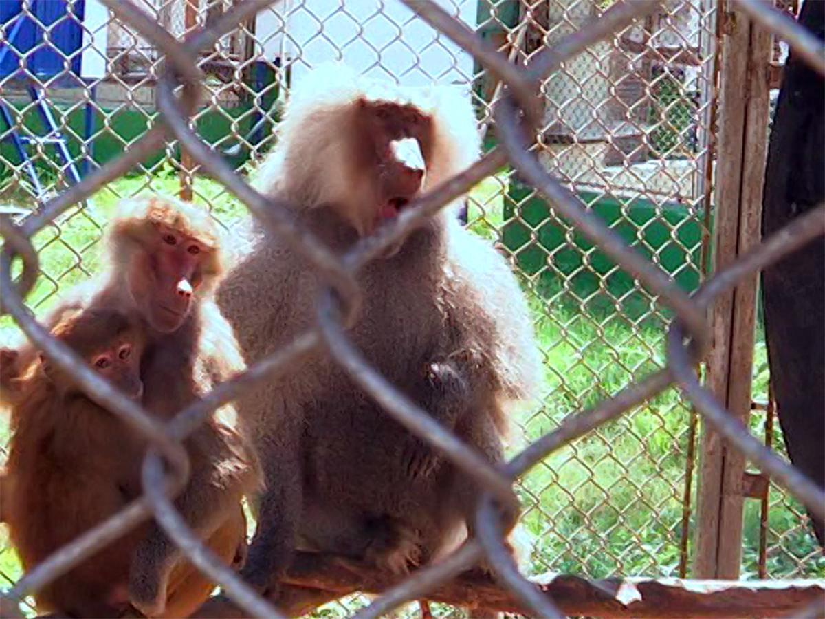 На обезьянах из Института медицинской приматологии изучат возможности полета на Марс