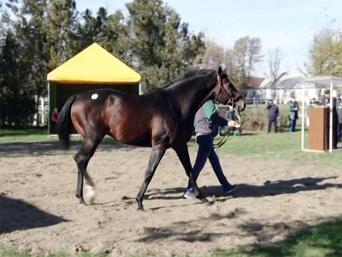 В Новокубанском районе прошел аукцион лошадей