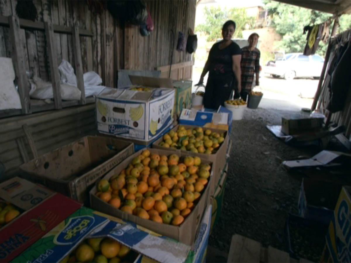 Садоводы Сочи соберут до 400 кг цитрусовых с каждого дерева
