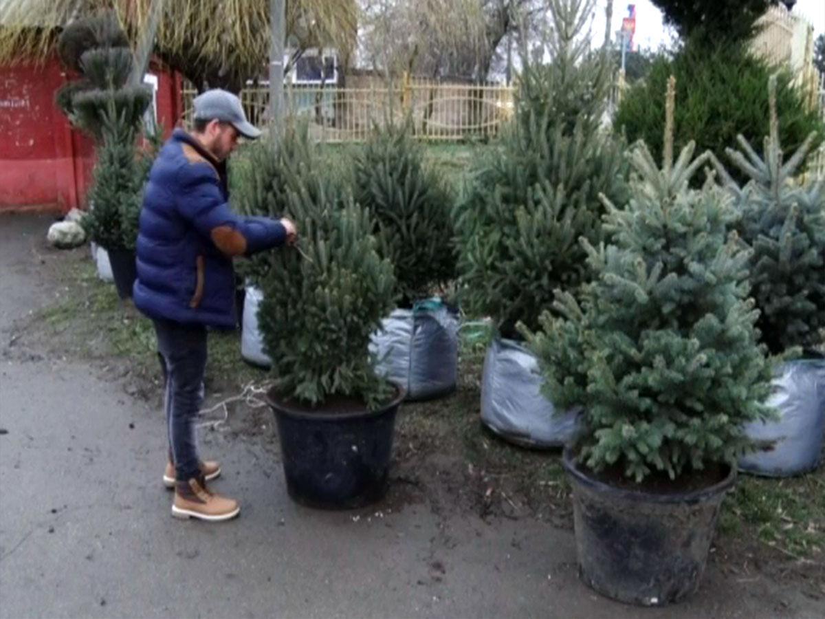 В хозяйстве Армавира почти полностью отказались от вырубки елок к Новому году