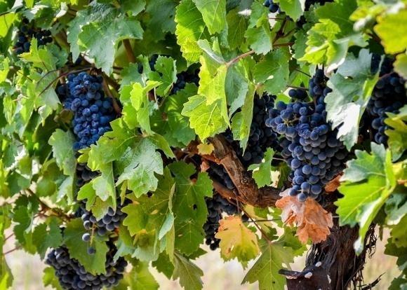 В 2018 году в Краснодарском крае планируют заложить 1 тыс. 600 га виноградников