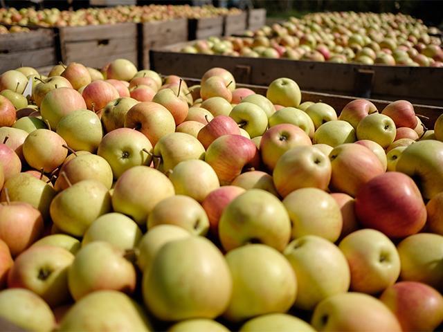 В ближайшие пять лет на Кубани соберут миллион тонн яблок