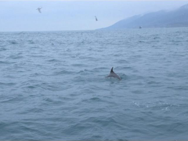 Во время подсчета дельфинов в Черном море ученые встретили 150 особей