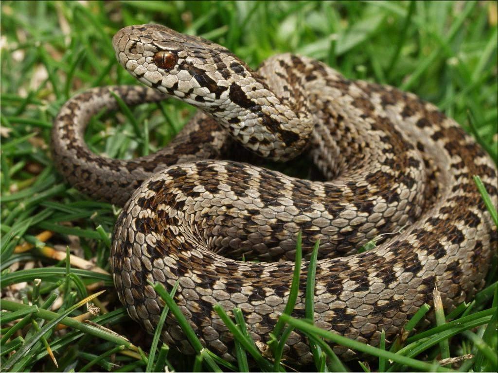 В Краснодаре эксперт объяснил, как опознать ядовитых змей