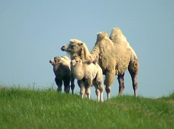 Заводчик из Крымского района рассказал о родившихся на ферме верблюжатах