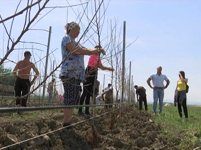 На Кубани на четверть увеличат количество плодовых деревьев