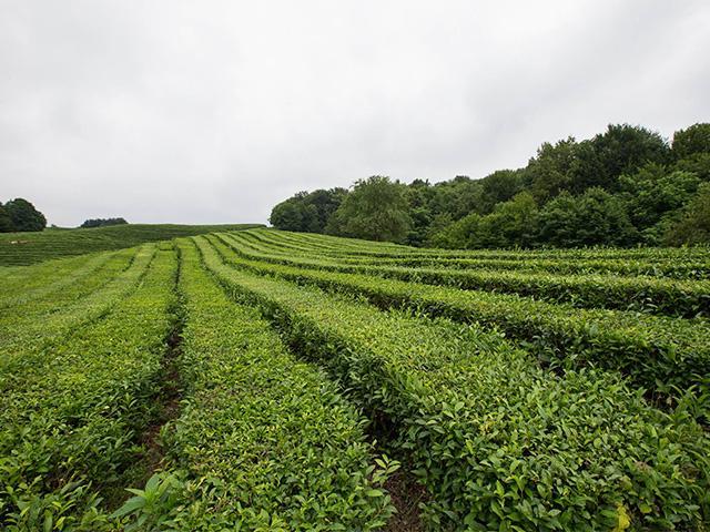 В Сочи стартовал сезон сбора листьев чая