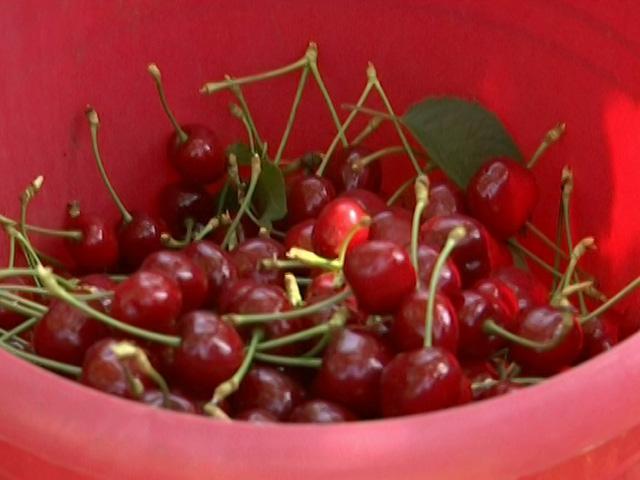 В хозяйствах Кубани собрали первые 100 тонн черешни