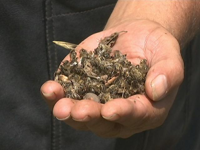 В Динском районе за несколько дней погибли десятки тысяч домашних пчел