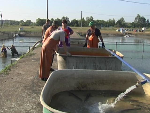 В Краснодарское водохранилище выпустили мальков и взрослых осетров