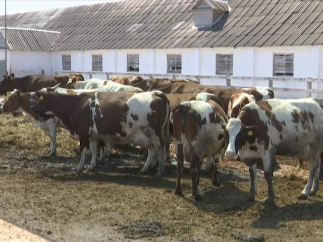 Как в Динском районе фермеры спасают коров от жары
