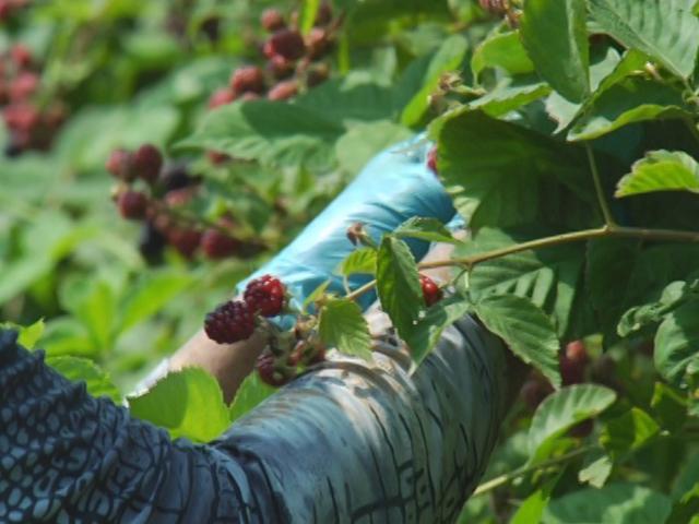 На Кубани фермеры собрали 600 тонн клубники