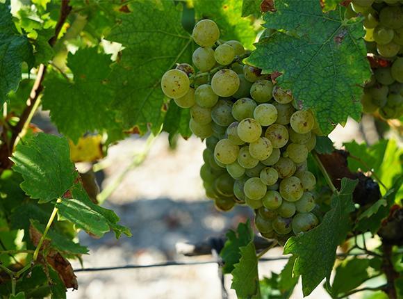 На Кубани начали собирать столовые сорта винограда