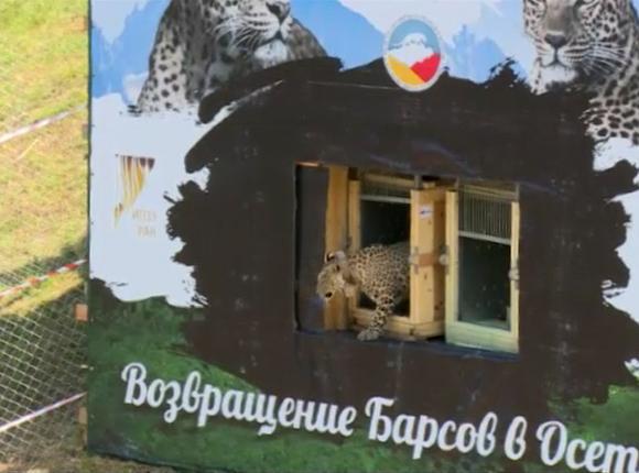 В нацпарк «Алания» выпустили двух переднеазиатских леопардов из Сочи