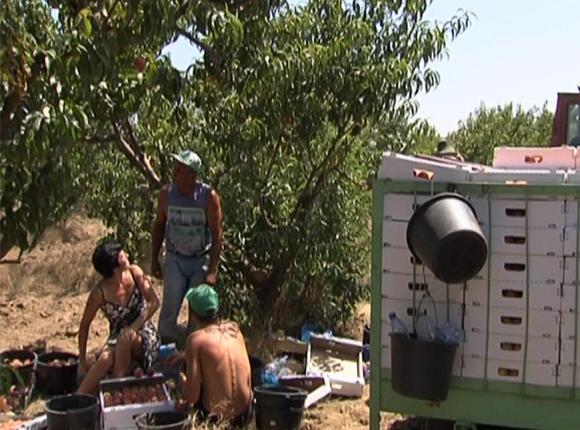 На Кубани начали собирать средние сорта персиков