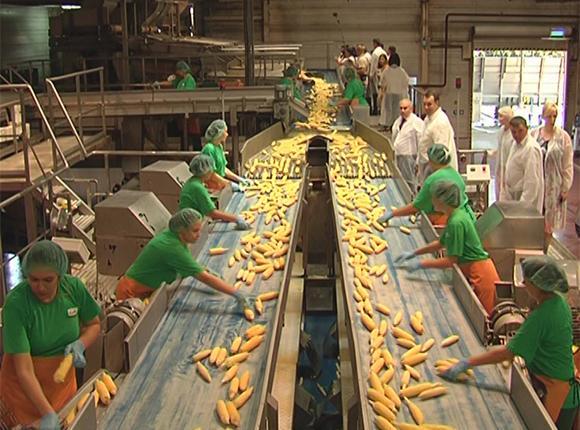 Консервные комбинаты Кубани приступили к переработке кукурузы