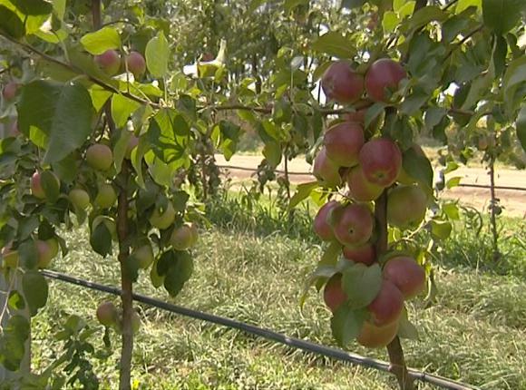 Как на Кубани проходит уборка яблок