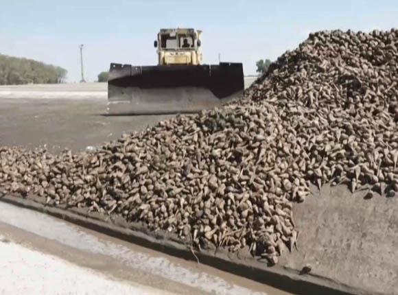 На Кубани планируют переработать 10 млн тонн сахарной свеклы