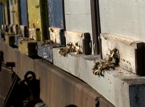Кубанские пчеловоды приступили к сбору пчел на зимовку