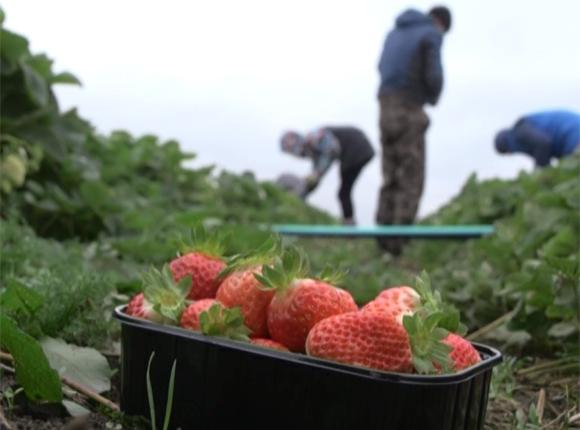 В Абинском районе в ноябре собрали почти 500 кг клубники на открытом грунте