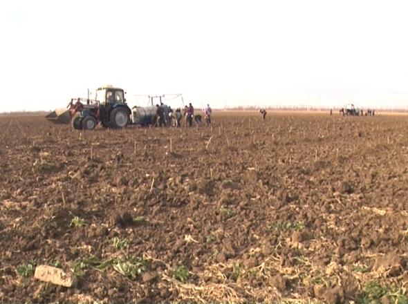 Кубанские аграрии приступили к высадке винограда