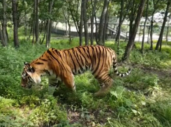 Переедет ли тигр Амур на Кубань