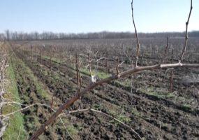 На виноградниках Анапы завершили обрезку лозы