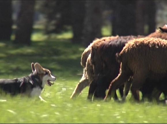 На Кубани впервые провели фестиваль пастушьих собак