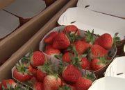 На Кубани собрали первый весенний урожай клубники