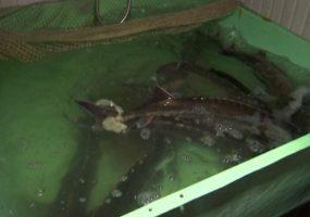 В Ейском районе появился центр рыбной неонатологии