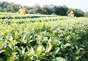В Сочи в 2019 году планируют собрать не менее 508 тонн чая