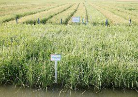 В Краснодарском крае 90% запланированных площадей засеяли рисом