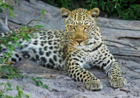 Ученые выяснят судьбу леопарда Эльбруса в горах Южной Осетии