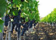 На Кубани высадили более 1,1 тыс. га молодых виноградников